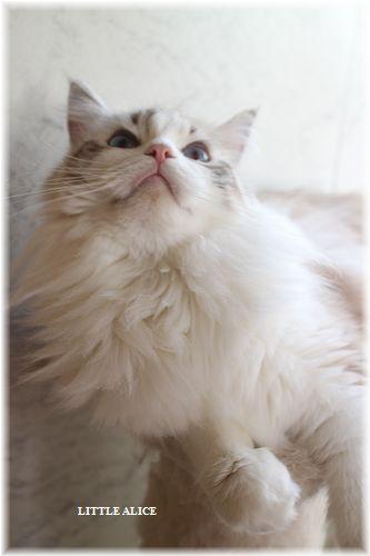 ☆ラグド-ルの仔猫・・ママ譲りのお転婆ちゃん。_c0080132_121452.jpg