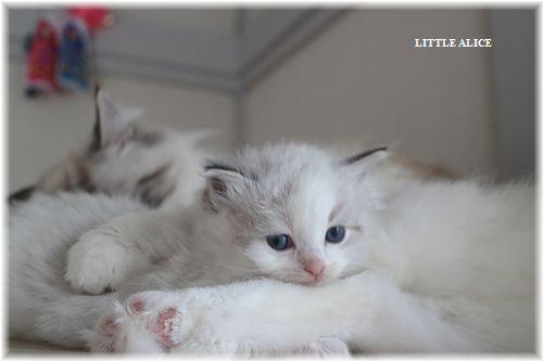 ☆ラグド-ルの仔猫・・ママ譲りのお転婆ちゃん。_c0080132_1233419.jpg