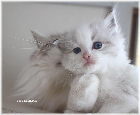☆ラグド-ルの仔猫・・ママ譲りのお転婆ちゃん。_c0080132_125241.jpg