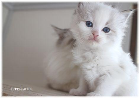 ☆ラグド-ルの仔猫・・ママ譲りのお転婆ちゃん。_c0080132_125756.jpg