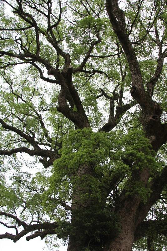 「黒木の大藤」と津江神社の大楠_c0011649_7271298.jpg