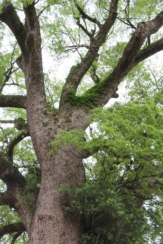 「黒木の大藤」と津江神社の大楠_c0011649_7505265.jpg