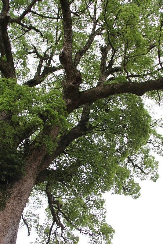 「黒木の大藤」と津江神社の大楠_c0011649_752173.jpg