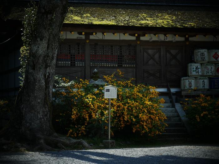 山吹 2016 松尾大社 _f0021869_23224953.jpg