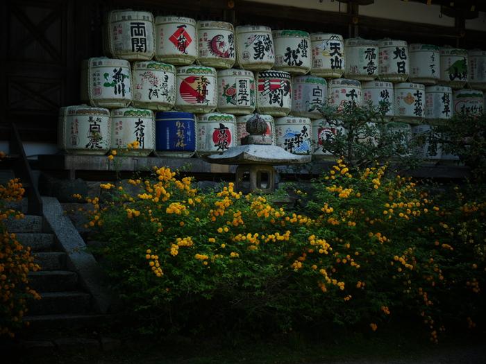 山吹 2016 松尾大社 _f0021869_2326917.jpg