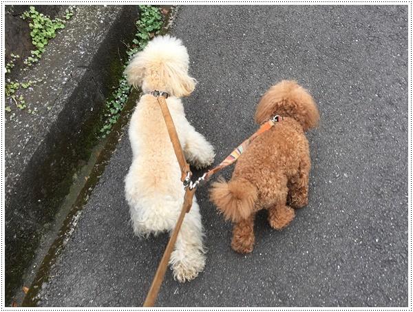 お散歩も少し控えめに、走るのもちょっとね。。。そうは言われても、元気印♪♪さくら♪♪にはストレスかも(´A`。)グスン _b0175688_19134548.jpg
