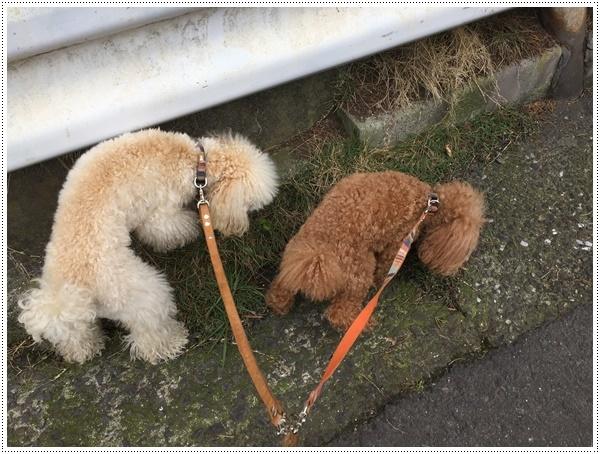 お散歩も少し控えめに、走るのもちょっとね。。。そうは言われても、元気印♪♪さくら♪♪にはストレスかも(´A`。)グスン _b0175688_19134871.jpg