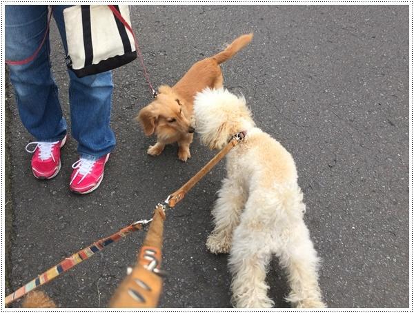 お散歩も少し控えめに、走るのもちょっとね。。。そうは言われても、元気印♪♪さくら♪♪にはストレスかも(´A`。)グスン _b0175688_19150776.jpg