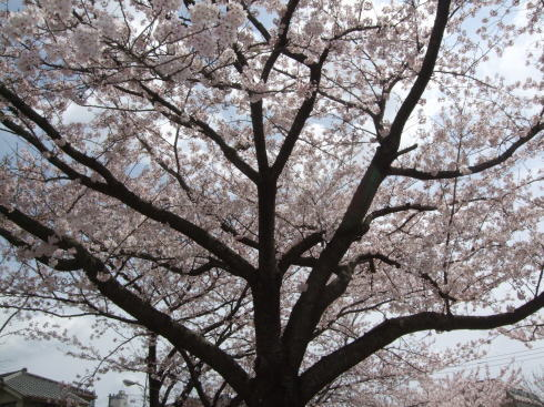 【千葉新田町園】お花見_a0267292_10313577.jpg