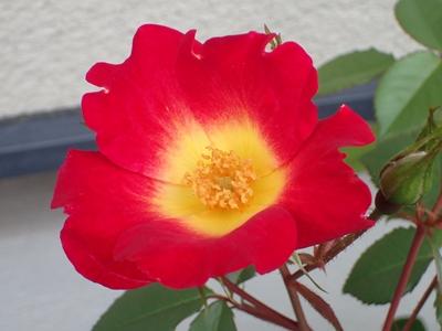 バラの季節へ_e0289203_19464399.jpg
