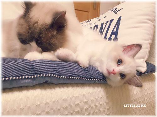 ☆ラグド-ルの仔猫・・パパはメロメロ。_c0080132_11533774.jpg