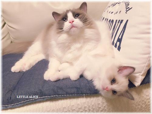 ☆ラグド-ルの仔猫・・パパはメロメロ。_c0080132_11535784.jpg