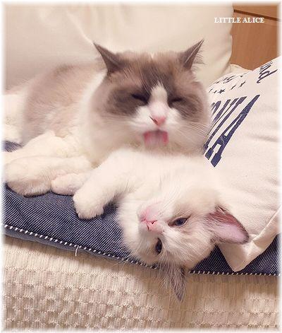 ☆ラグド-ルの仔猫・・パパはメロメロ。_c0080132_1153732.jpg