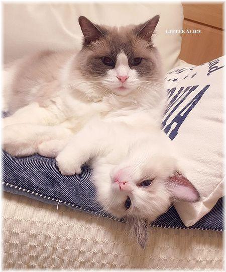 ☆ラグド-ルの仔猫・・パパはメロメロ。_c0080132_11542534.jpg