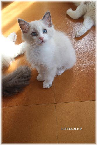 ☆ラグド-ルの仔猫・・パパはメロメロ。_c0080132_11591948.jpg