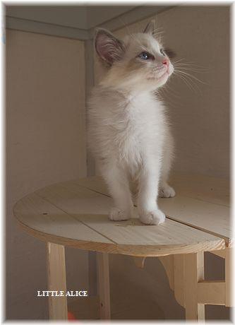 ☆ラグド-ルの仔猫・・パパはメロメロ。_c0080132_11595919.jpg