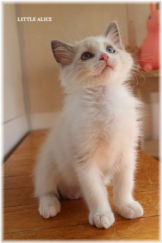 ☆ラグド-ルの仔猫・・パパはメロメロ。_c0080132_12101426.jpg