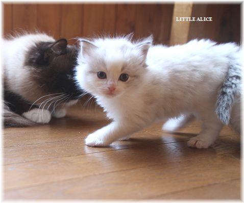 ☆ラグド-ルの仔猫・・パパはメロメロ。_c0080132_12161031.jpg