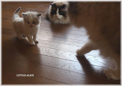 ☆ラグド-ルの仔猫・・パパはメロメロ。_c0080132_12172622.jpg
