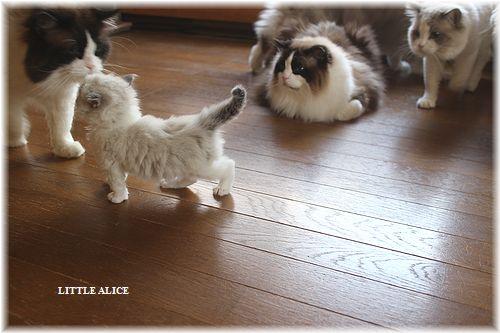 ☆ラグド-ルの仔猫・・パパはメロメロ。_c0080132_12224342.jpg