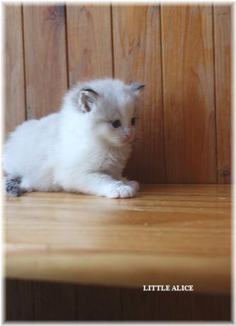 ☆ラグド-ルの仔猫・・パパはメロメロ。_c0080132_12235027.jpg