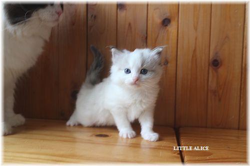 ☆ラグド-ルの仔猫・・パパはメロメロ。_c0080132_1224443.jpg