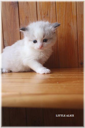 ☆ラグド-ルの仔猫・・パパはメロメロ。_c0080132_1224661.jpg