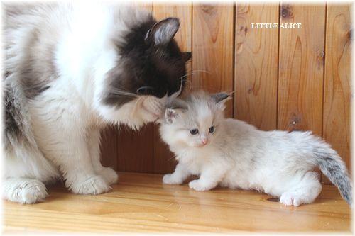 ☆ラグド-ルの仔猫・・パパはメロメロ。_c0080132_12251364.jpg