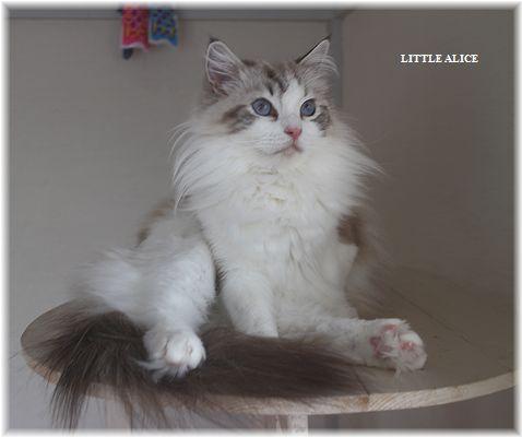 ☆ラグド-ルの仔猫・・パパはメロメロ。_c0080132_12273632.jpg