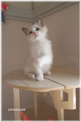 ☆ラグド-ルの仔猫・・パパはメロメロ。_c0080132_123211.jpg
