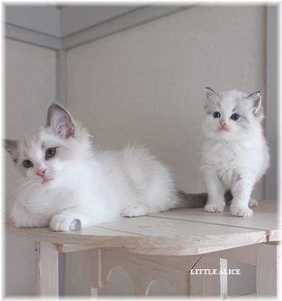 ☆ラグド-ルの仔猫・・パパはメロメロ。_c0080132_12374045.jpg