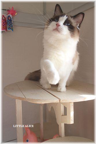☆ラグド-ルの仔猫・・パパはメロメロ。_c0080132_1243715.jpg
