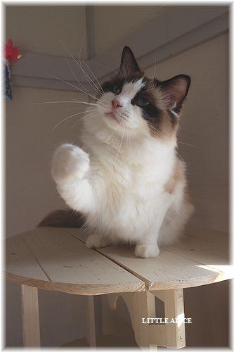 ☆ラグド-ルの仔猫・・パパはメロメロ。_c0080132_1253884.jpg