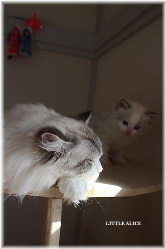 ☆ラグド-ルの仔猫・・パパはメロメロ。_c0080132_1281667.jpg