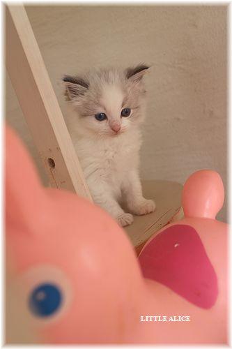 ☆ラグド-ルの仔猫・・パパはメロメロ。_c0080132_1294356.jpg