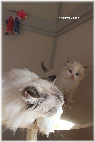 ☆ラグド-ルの仔猫・・パパはメロメロ。_c0080132_129478.jpg
