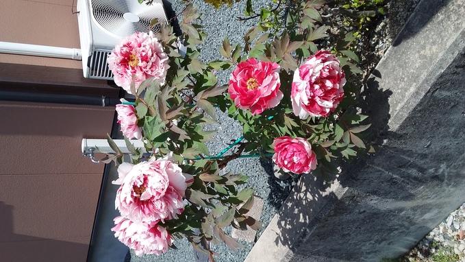 ☆牡丹☆_a0167735_22445375.jpg