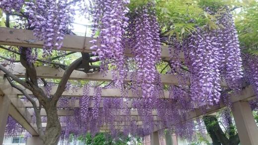 藤の鉢植え_d0115243_09432598.jpg