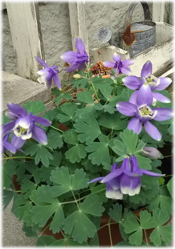 モッコウバラが咲き始めました♪_d0142770_19330108.jpg