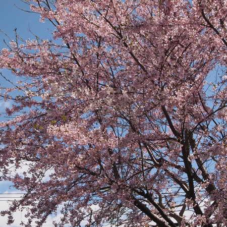 桜が咲きましたね。_a0292194_21241994.jpg