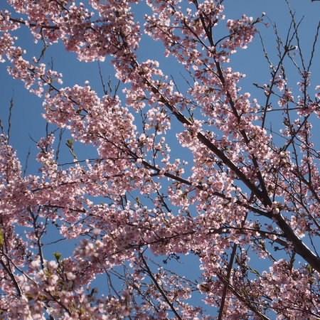 桜が咲きましたね。_a0292194_2125229.jpg