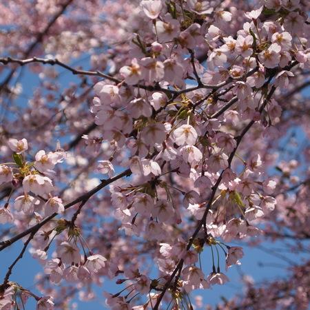 桜が咲きましたね。_a0292194_21252426.jpg