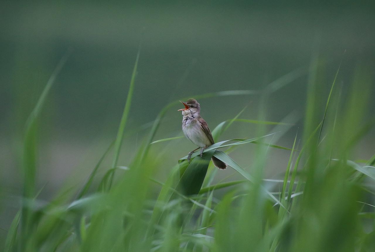 オオヨシキリの季節/AP公園の昆虫_f0296999_20542311.jpg