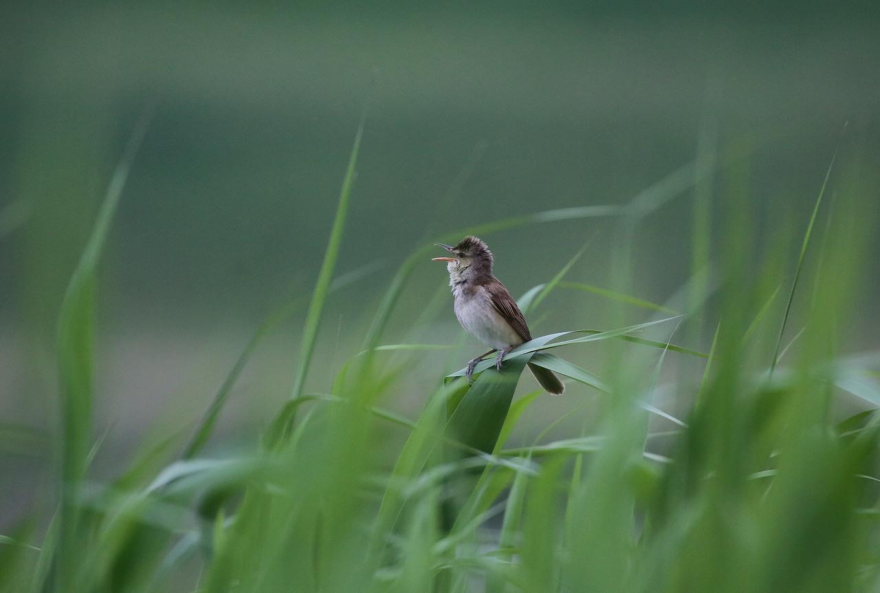 オオヨシキリの季節/AP公園の昆虫_f0296999_20543138.jpg