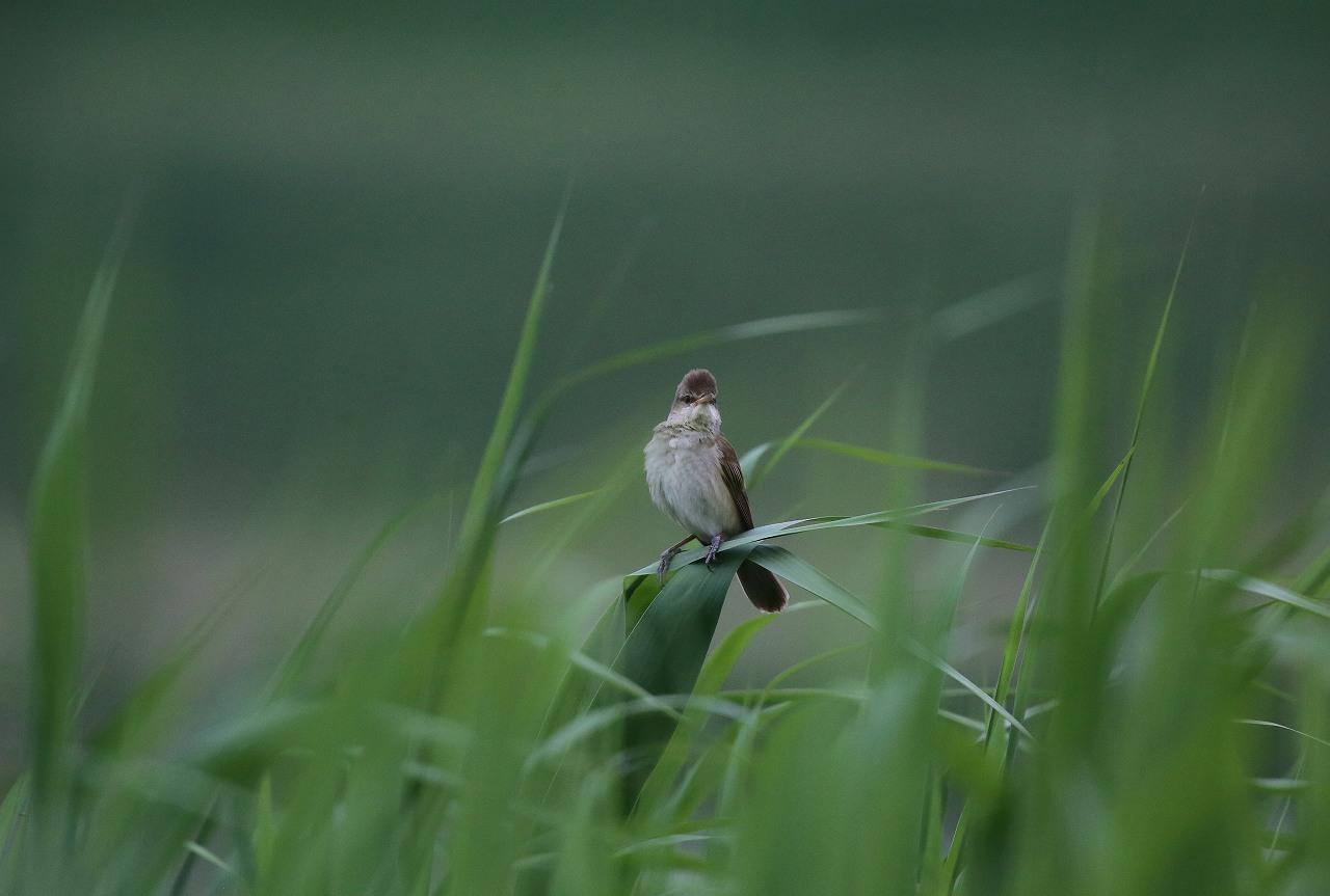 オオヨシキリの季節/AP公園の昆虫_f0296999_20544118.jpg
