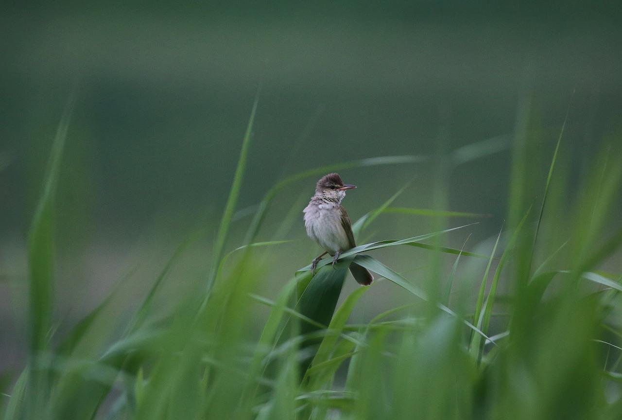 オオヨシキリの季節/AP公園の昆虫_f0296999_20544992.jpg