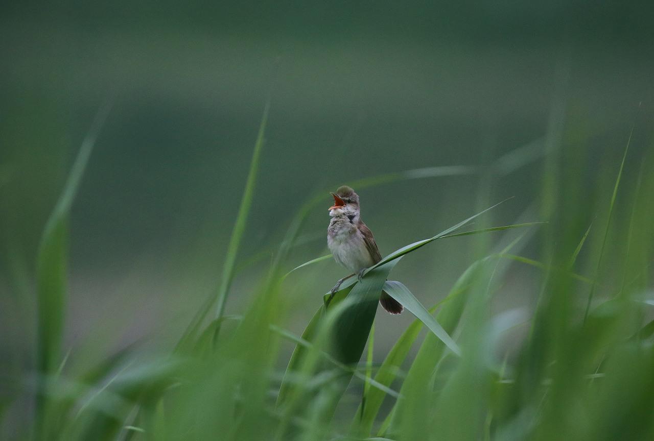 オオヨシキリの季節/AP公園の昆虫_f0296999_20545798.jpg