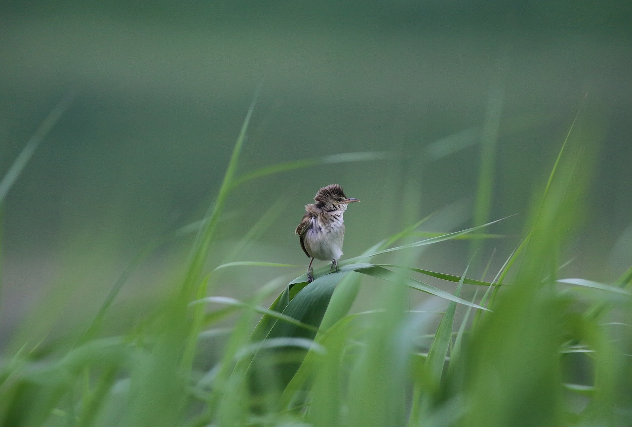 オオヨシキリの季節/AP公園の昆虫_f0296999_205556.jpg