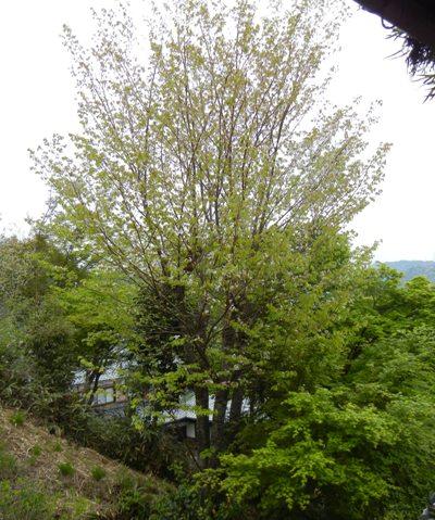 しまいの 桜は _a0236300_18284792.jpg