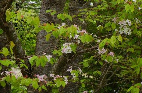 しまいの 桜は _a0236300_18353820.jpg